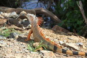 Orange Iguana