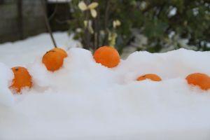 Oranges in the Snow